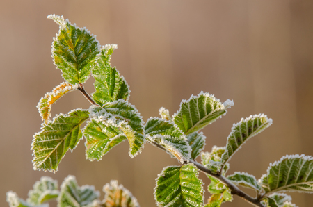 MORNING FROST - Frost on twigs and leaves of young hornbeam Reklamní fotografie