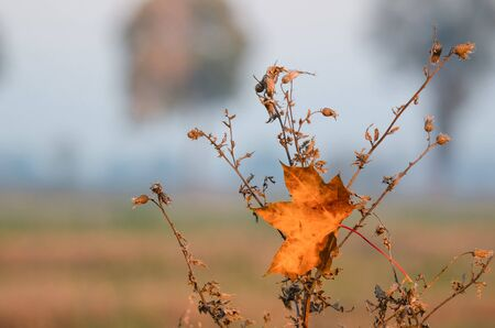 FIERY AUTUMN - Golden maple leaf trapped on dried bushes