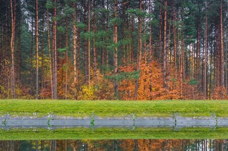 AUTUMN FOREST - Fiery beech leaves among the slender pines on the banks of the canal