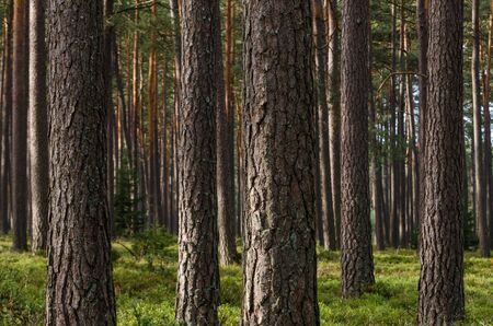 PINE FOREST - Natural and ecological oxygen factory Banco de Imagens