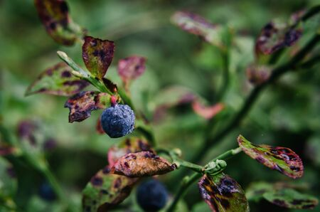 BLUEBERRIES - Forest fruits straight from the forest Banco de Imagens