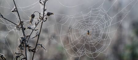 SPIDER ON A PEARLY COBWEB - Foggy and wet morning in the forest clearing