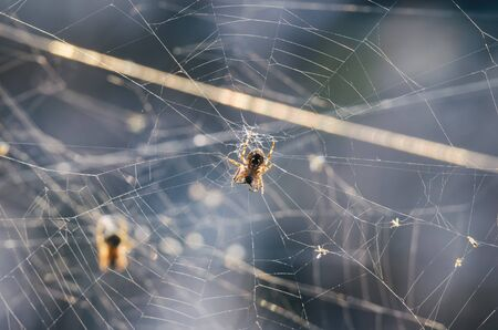 SPIDERS TWO - Hunter on his cobwebs in the rays of the autumn sun Stock fotó - 130738551