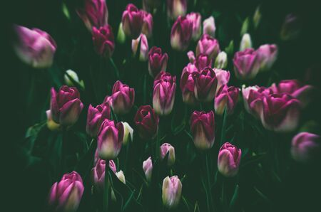TULIPS FOR WOMAN FOR GIRLS - Spring flowers in an artistic garden Stock fotó - 131326154