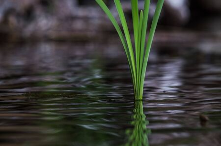 WATER PLANT - Young reed leaves in a lake in spring