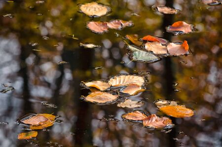 AUTUMN IN NATURE - Yellowed leaves from trees float on water