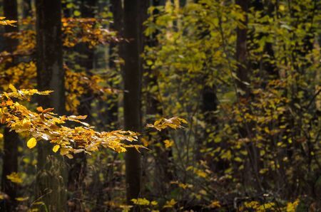 GOLDEN FOREST - Beech trees in the rays of the autumn sun 写真素材