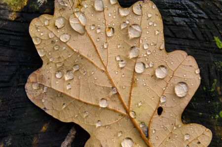 AUTUMN IN NATURE - Rain drops on a dry oak leaf