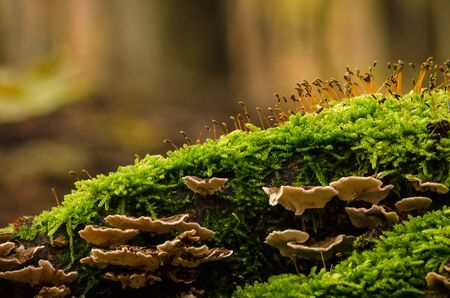 BRACKED FUNGUS AND GREEN MOSS - A small colony of fruiting bodies on a stump 写真素材