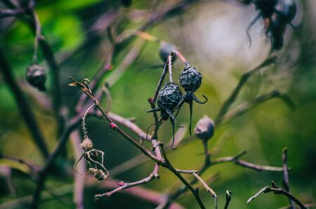 WILD ROSE - Dried fruit on the bush Stok Fotoğraf