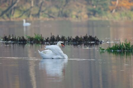 SWAN - A white stately bird in its natural environment