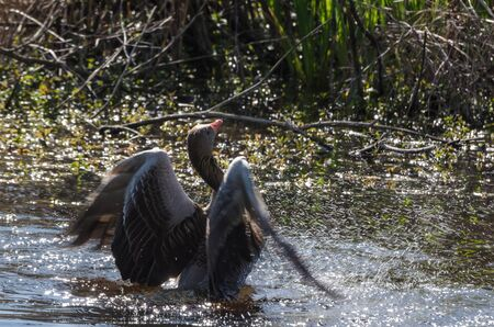 WILDLIFE - Wild goose in a water bath in the swamps