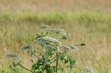 BORSCH SOSNOWSKI - Dangerous plant in the field Stock Photo