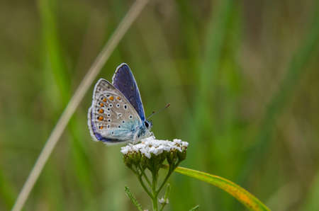 COMMON BLUE BUTTERFLY - A beautiful gentle insect on a field flower 版權商用圖片