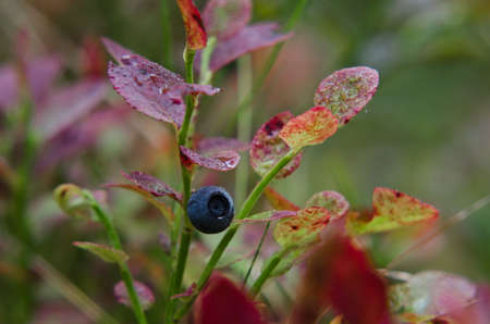 BLUEBERRIES - Forest fruits on a bush in a natural environment
