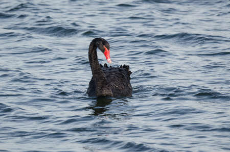 BLACK SWAN - Wild bird on the water