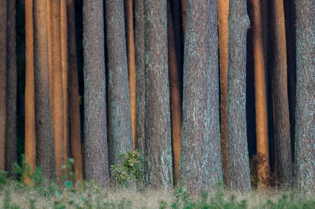 PINE FOREST - Wall of trunks of coniferous trees