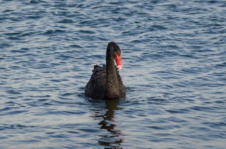 BLACK SWAN - Wild bird swims in the sea
