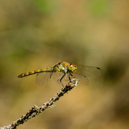 DRAGONFLY - The insect is resting on a stick