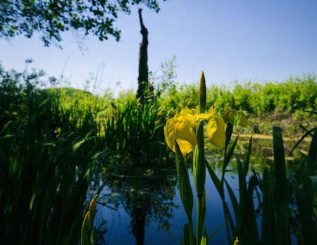 SPRING LANDSCAPE - Yellow Irises in the marsh 版權商用圖片