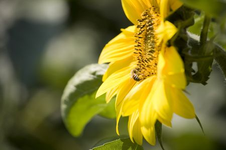 collapsed: Color Image of bright yellow sunflower with bees