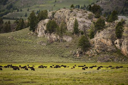 heard: A heard of bison graze on grass in Yellowstone National Park Stock Photo