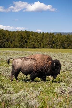 freely: Buffalo at Yellowstone National Park Roam Freely