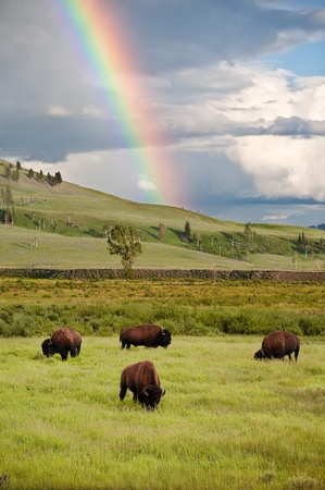 yellowstone: Buffalo and the Rainbow