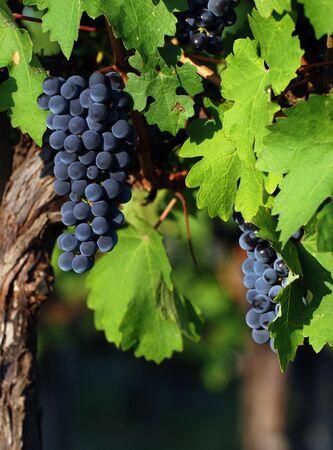 イタリアのブドウ園 写真素材