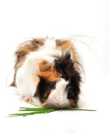 Guinea pig Zdjęcie Seryjne - 2744077
