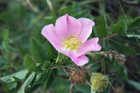 Alberta Wild Rose Stock fotó