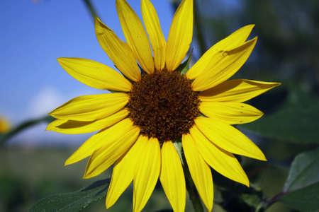 The Wild Sunflower