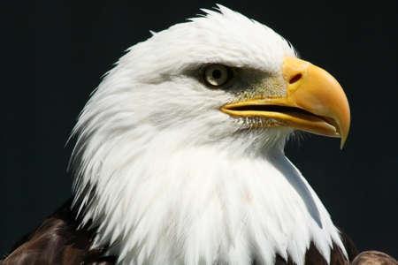 aguila calva: Águila calva @ Centro de Birds of Prey