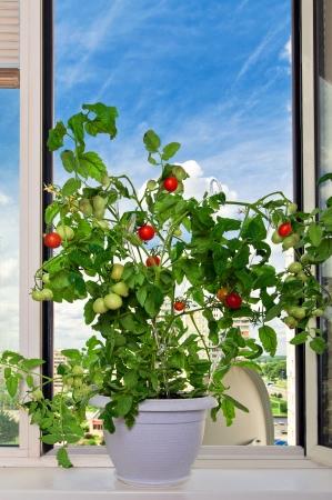 balcony window: Tomato bush in white pot blue sky as background