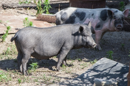 Two pigs on a farm Stock Photo - 14274361
