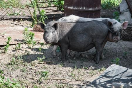 Zwei Schweine auf einem Bauernhof Lizenzfreie Bilder