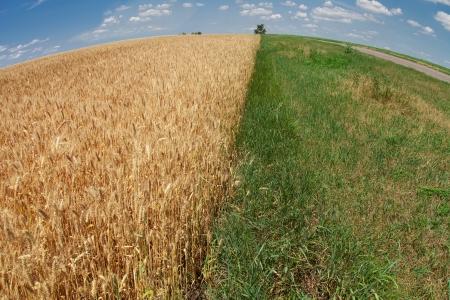 grass verge: Campo di grano con punto erba verde e la strada che si estende fino all'orizzonte, carta da parati Archivio Fotografico