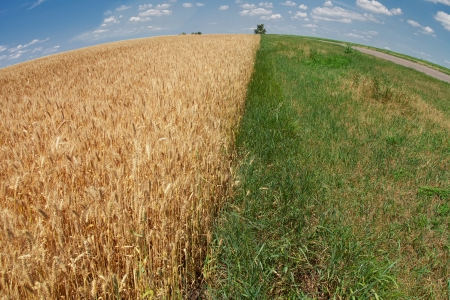 Wheat field with green grass verge and the road stretching to the horizon, wallpaper Stock Photo - 14274362