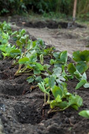 Strawberry seedlings prepared for planting Foto de archivo
