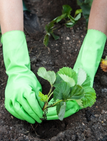 Woman  wearing gloves closeup  planting strawberry seedlings photo