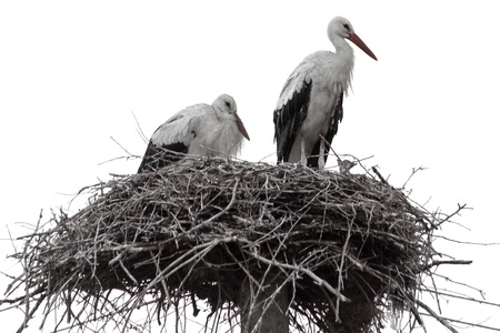 Family of storks in nest isolated on white background Stock Photo - 15493729