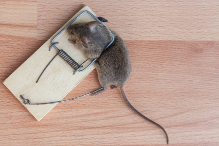 baited: Dead field mouse in a mousetrap close-up Stock Photo