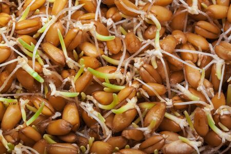 Sprouted wheat abstract background photo