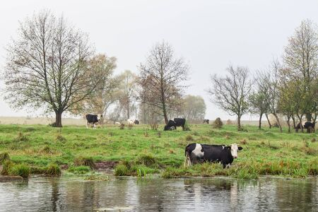 Cow on the watering place Stock Photo - 16025505