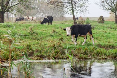 Calves and cows grazing on the lake photo
