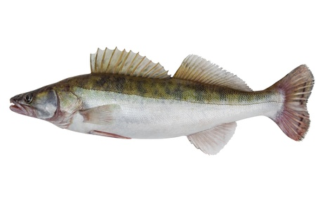 Large fresh pike perch isolated on a white background photo