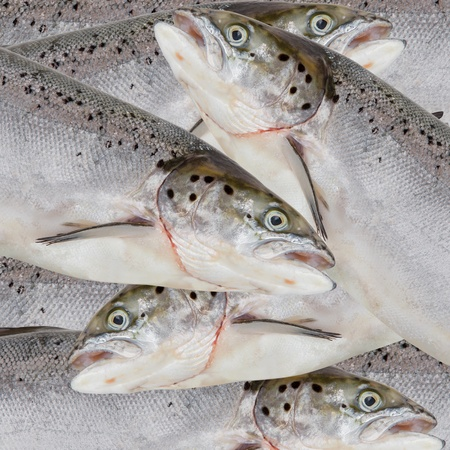 Fresh salmon red fish close up Stock Photo - 16426001
