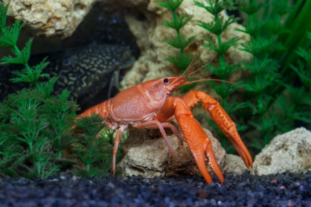 Red crayfish, Procambarus clarkii, in the aquarium  Head of large catfish, Hypostomus plecostomus, in the background