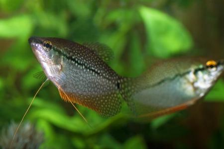 gourami: Couple Pearly gourami  Trichogaster leeri  in an aquarium Stock Photo