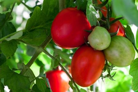 Close-up von Tomaten noch an der Rebe wachsen in einem Gewächshaus Standard-Bild